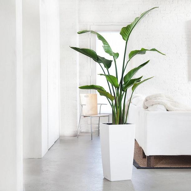 bird-of-paradise-plant